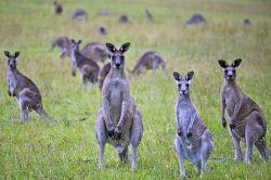 1280px-Kangaroo_Portrait_(6754298445)